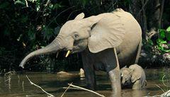 V Africe ubývá slonů pralesních, do deseti let by mohli vymřít
