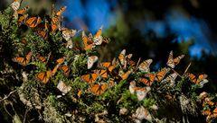 V Mexiku dramaticky klesá populace motýlů