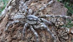 Vědci na Srí Lance objevili pavouka velkého jako lidský obličej