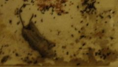 Mrtvá myš v hromádce trusu překvapila inspekci, obchod čeká deratizace