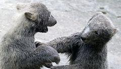 Lidé pokřtili medvíďata z brněnské zoo jako Kometu a Nanuka
