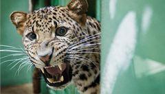 Pražská zoo získala jednu z nejohroženějších šelem