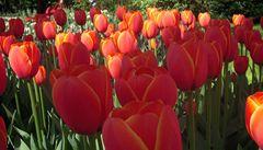 Výlet do rozkvetlého Keukenhofu, království tulipánů