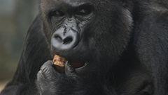 Gorily z pražské ZOO se po povodních vrátily do svého pavilonu