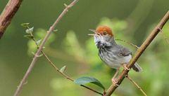 Vědci objevili v Kambodži nový druh ptáka