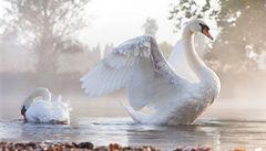 Kolik labutí je na Temži? V Británii začalo tradiční sčítání