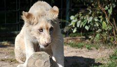 V chlebské zoo můžete vidět vzácného bílého lva