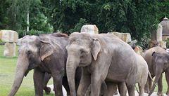Parník i obří dort. Sloni z pražské zoo oslaví 80. výročí