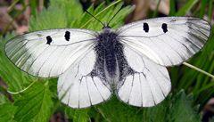 Po unikátním projektu se v Podyjí ztrojnásobil počet vzácných motýlů