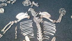 Celníci na pražském letišti nalezli dvě kostry tygrů