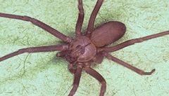 Boj proti pavoučímu jedu: vědci získávají protilátku z koňské krve