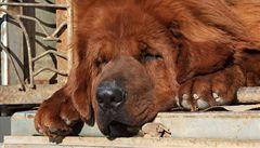 Čínskou zoo, která vydávala mastifa za lva, uzavřeli