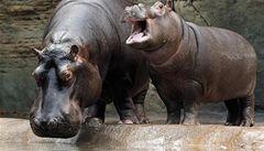 Hroši v pražské zoo nejsou vidět. V bazénu nefunguje filtrace