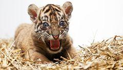 V pražské zoo se narodil ohrožený tygr sumaterský