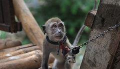 Indonésie bojuje proti mučení opiček, chce zakázat pouliční vystoupení