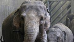 V pražské zoo uhynula na virovou infekci slonice Tonya
