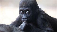 Před rokem se gorilí skupinka v pražské zoo rozrostla o Nurua