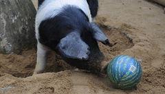 Přeštické prase v plzeňské zoo našlo zalíbení ve fotbale