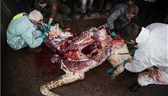 Vyhrožují mi smrtí, přiznal ředitel zoo, která utratila zdravou žirafu