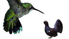 Pro Šumavu jsou tetřevi příliš velcí, nahradí je kolibříci?