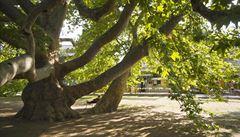 Evropský strom roku 2013: Maďarský platan z Egeru