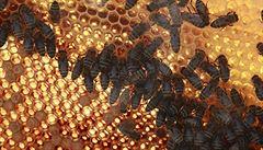 Úplné vyhynutí včelám nehrozí, lidé jim však motají hlavy