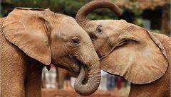 Velký mozek? Sloni podle vědců zvládnou rozeznávat různé lidské jazyky