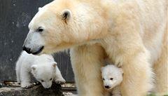 Vědci odhalili, proč jsou medvědi i přes tloušťku zdraví