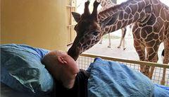 Umírající chovatel se přišel rozloučit do zoo. Žirafa ho olízla
