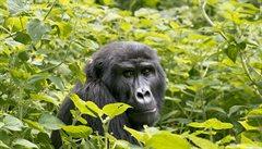 Gorily v Ugandě žijí z turistů. Jejich 'stopování' stojí 12 tisíc