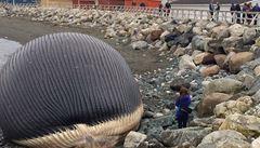 Obyvatelé města v Kanadě se bojí, že na pláži exploduje plejtvák