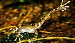 Indičtí vědci objevili nové druhy 'tančících žab'