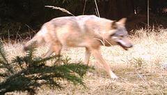 V Máchově kraji byl nalezen mrtvý vlk. Mohla ho zabít jiná šelma nebo pytláci