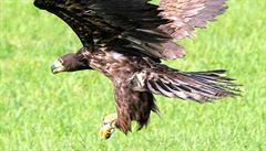Ornitolog: Otrávená orlí rodina? Jed by zabil i člověka. Traviče ale nechytíme
