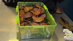 Na letišti v Praze našli celníci v zavazadle 47 želv. Dvě byly mrtvé