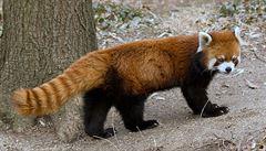 Plzeňská zoo žádá veřejnost o pomoc. Ztratila se panda