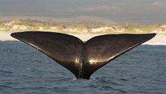 Velryby se vracejí na místa svých milostných hrátek