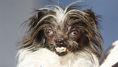 Nejošklivější pes na světě je kříženec Burák. Podívejte se na jeho soupeře