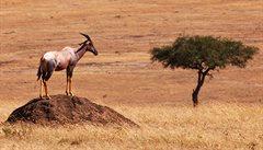 Antilopa, která je schopna podvádět kvůli sexu
