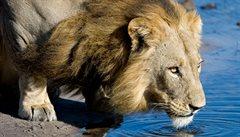 Do Zoo Praha se chystají tři noví lvi z indického Gudžarátu