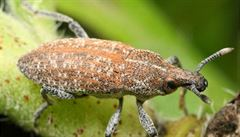 Vědci našli v Podyjí vzácný a ohrožený druh brouka