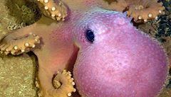 'Nejlepší matka zvířecí říše'. Chobotnice se starala o vajíčka 4,5 roku