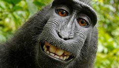 Opice se sama vyfotila. S Wikipedií se o snímek pře majitel foťáku