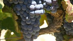 Dubnové mrazy zničily na vinicích 80 % révy, škoda je miliarda