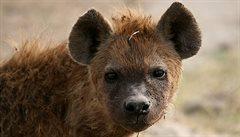 Zoo se snažila spářit hyeny. Po letech zjistila, že má dva samce