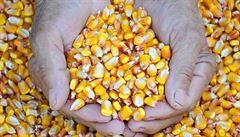 Geneticky upravené plodiny nejsou hrozbou, míní vědci