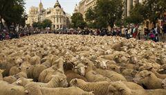 Pastevci prohnali Madridem 2000 ovcí