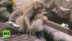 Indická opice poskytovala první pomoc. Družku máchala ve strouze a hryzala