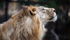 Zoo Praha se chystá na vzácné přírůstky. Z Indie přicestují tři lvi