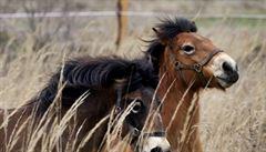 V Milovicích vypustili do přírody 14 koní z Británie